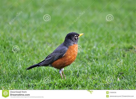 Orange bellied Black Bird On The Lawn Stock Image   Image ...
