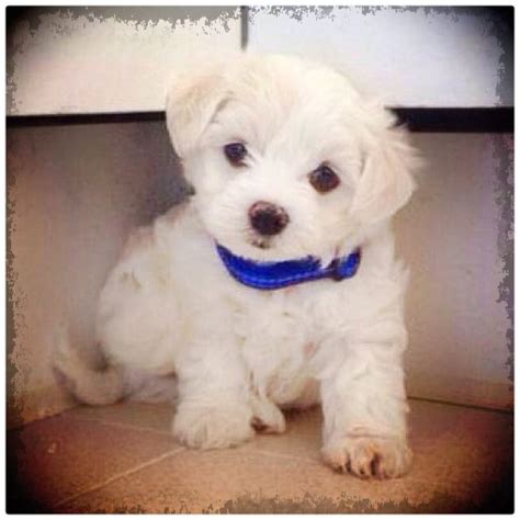 Perritos Bebes Images   Reverse Search