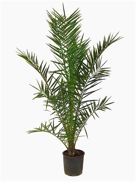 Phoenix Canariensis  Date Palm  for Sale Online   Buy Now ...