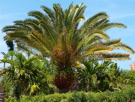 Phoenix canariensis | Identifying Commonly Cultivated Palms