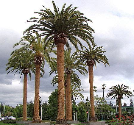 Phoenix canariensis   Palmpedia   Palm Grower s Guide