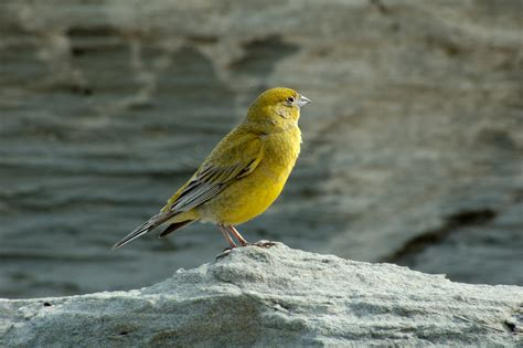 Pictures Blog: Wild Canary Bird