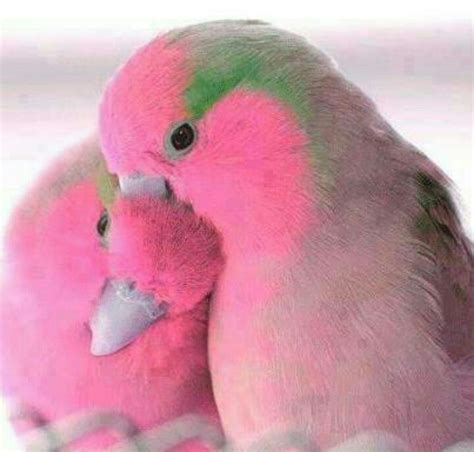Pink lovebirds!!!! WANT!!!! I have never seen little guys ...