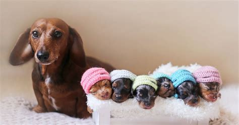 Proud Sausage Dog Poses With Her 6 Tiny Sausages For ...