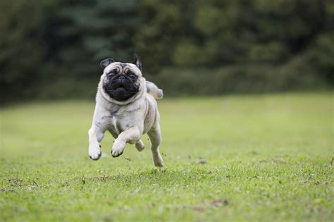 Pug Dog Images Latest New Photos hd wallpapers
