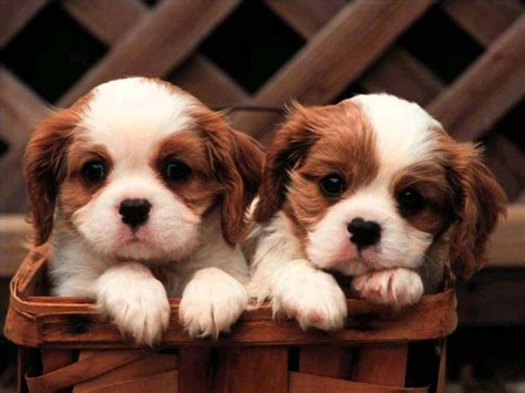 puppies and more images cute puppies HD wallpaper and ...