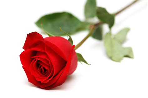 Red Rose With White Backgrounds   Wallpaper Cave