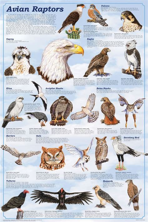 Related Keywords & Suggestions for list of raptor birds