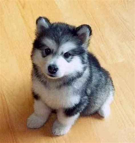 small dog breeds | ... small small puppies that stay small ...