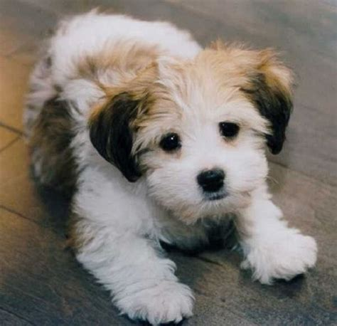 small dog mixed breeds that don t shed | puppies ...
