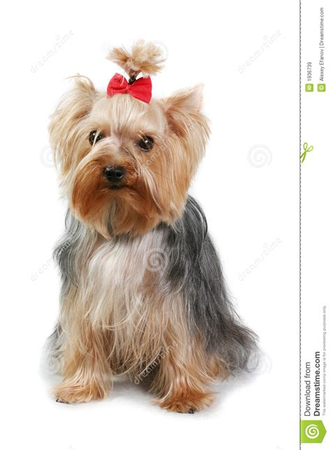 Small Dog Royalty Free Stock Images   Image: 1936739