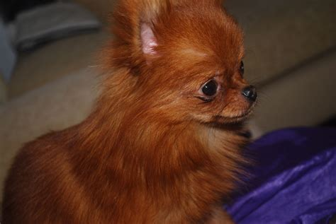 Small Toy Dog Free Stock Photo   Public Domain Pictures