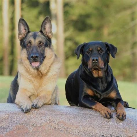 The 10 Most Popular German Dog Breeds