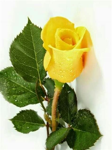 The 25+ best ideas about Yellow Roses on Pinterest | Roses ...