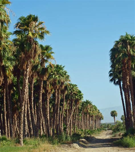 The gallery for   > Washingtonia Robusta Seeds