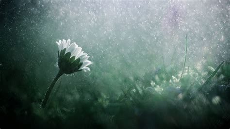 The raining day ... | Yet a daisy ! … :  On my website ...