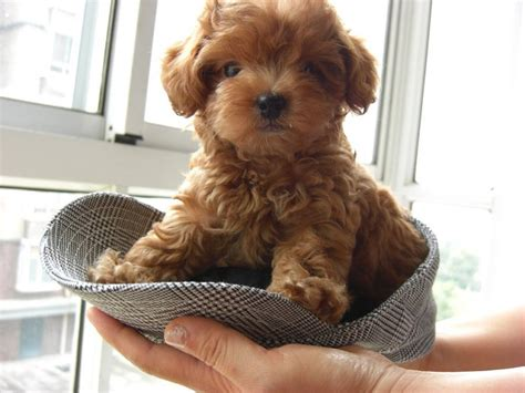 Top 10 Cutest Small Dog Breeds   Top Inspired