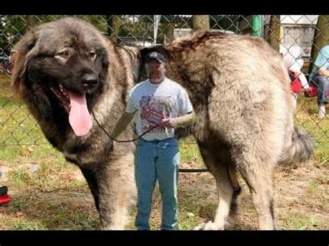 TOP 10 MOST DANGEROUS DOGS BREEDS IN THE WORLD 2015   YouTube