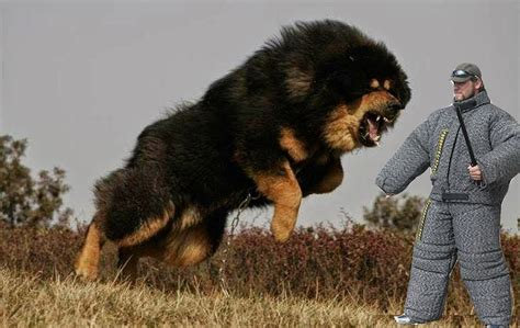 Top 25 Most Dangerous Dog Breeds in the World   YouTube