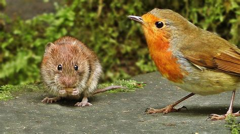 Videos for Cats to Watch Mice : Mouse vs Birds | FunnyCat.TV