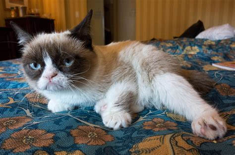 Viral internet star Grumpy Cat comes to Berkeley ...