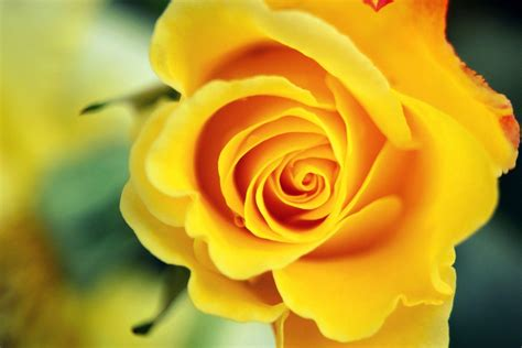 Wallpapers Yellow Rose   Wallpaper Cave