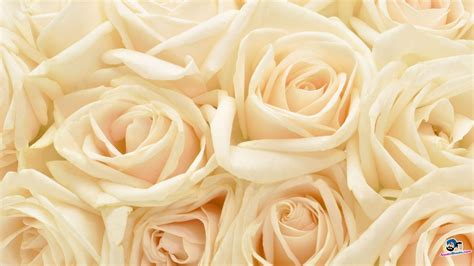 White Rose Backgrounds   Wallpaper Cave
