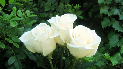 White Rose Flowers Wallpapers   Entertainment Only