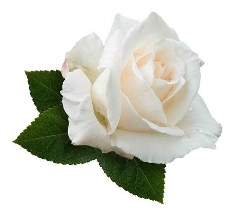 white rose transparent background   Google Search ...