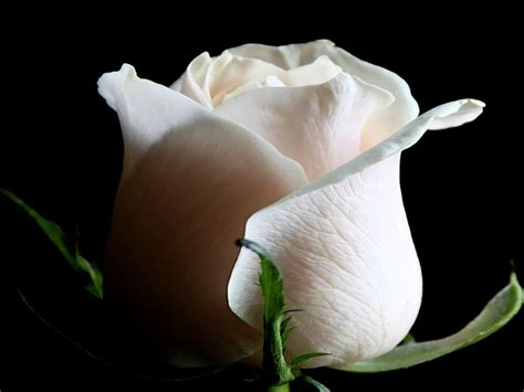 White Rose Wallpapers HD Pictures | Flowers | One HD ...
