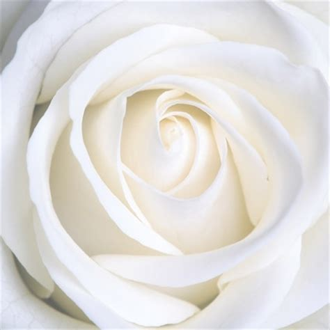 White roses picture Free stock photos in Image format: jpg ...