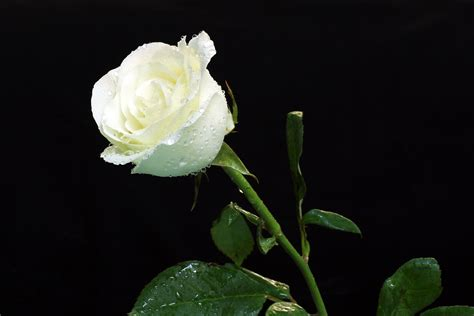 White Roses Water Droplets Wallpaper #97587   Resolution ...