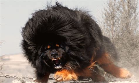 World's Top 10 MOST DANGEROUS Dog Breeds   YouTube