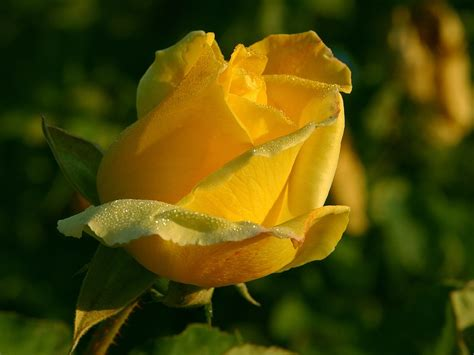 Yellow Rose Flowers   Flower HD Wallpapers, Images ...