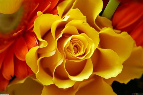 Yellow rose wallpaper #17225   Open Walls