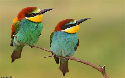 Yellow Throated Bee Eaters Full HD Wallpaper and ...